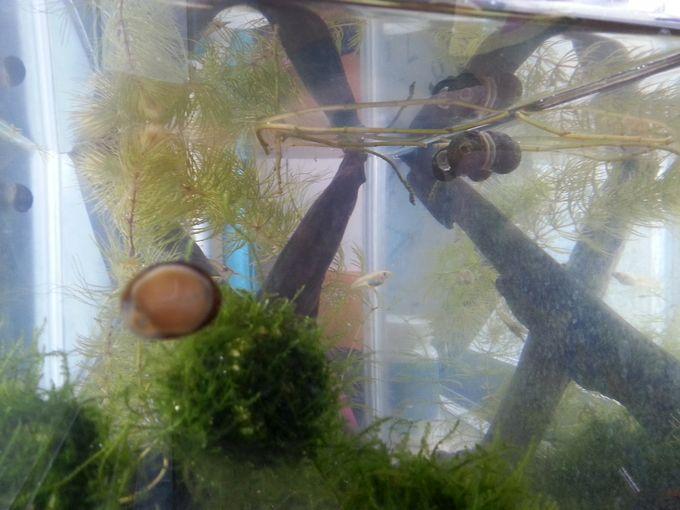 水槽の石巻貝