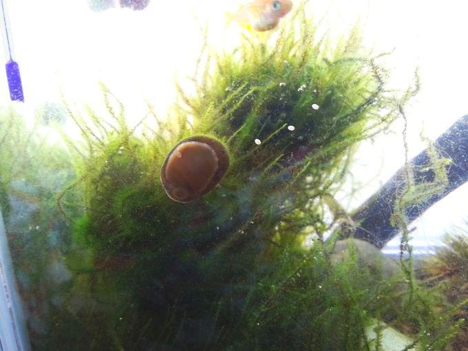 石巻貝が産卵