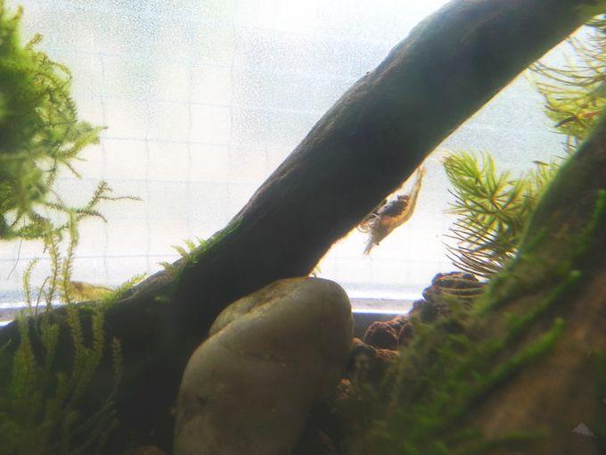 ミナミヌマエビ 抱卵