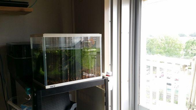 メダカの水槽を窓際に移動