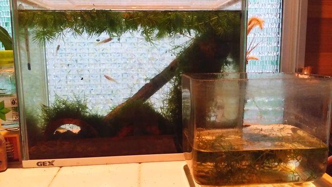 実家の室内と産卵水槽