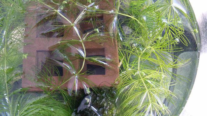 12月初旬の稚魚水槽
