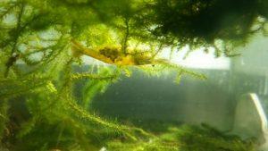 ミナミヌマエビの繁殖方法 ~3ヶ月で数十倍に増やす方法~