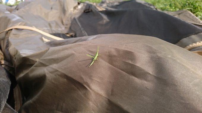 テント乾燥中に出会ったバッタ