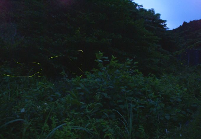 日暮れとともにホタルが飛び始める