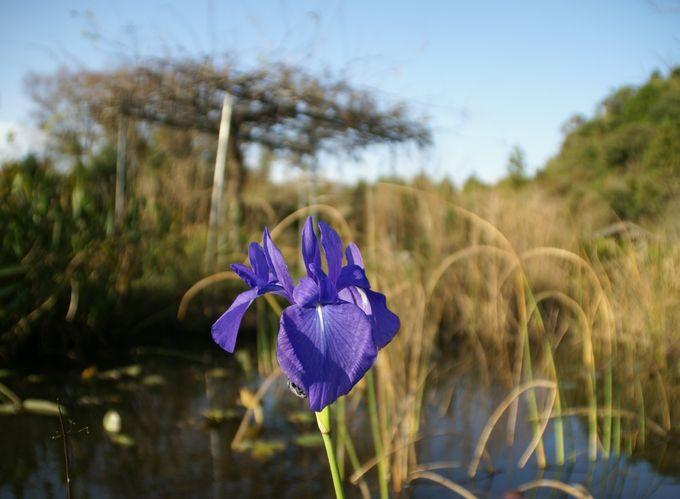 柿山田オートキャンプガーデンの花(紫)