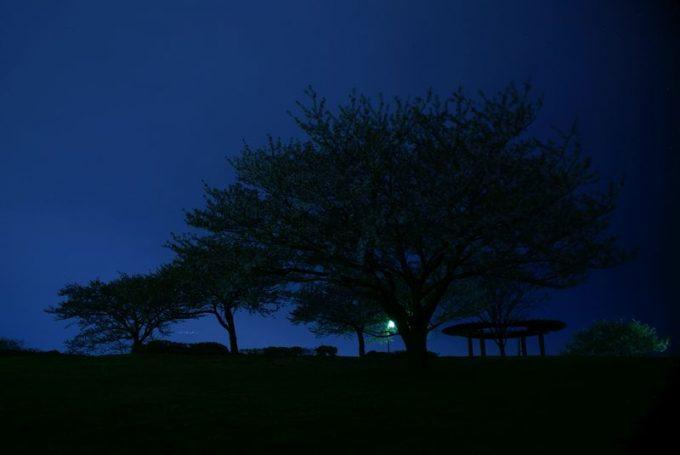 真夜中の公園の桜