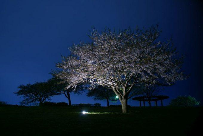 ルーメナープラスなら、真夜中の公園の夜桜をで照らすことができる