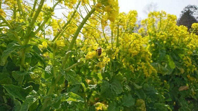 カズサの郷 愛彩畑 菜の花にとまるミツバチ